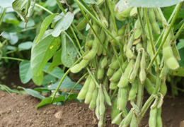 朝穫り枝豆