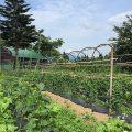 龍氣農園の野菜がすくすく育っています