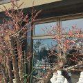 今度は梅が咲き始めました!