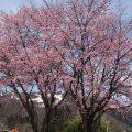 上の原高原の桜が満開です!