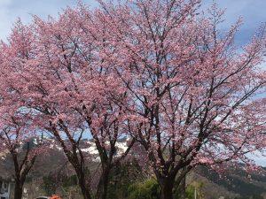 龍氣の桜が満開です