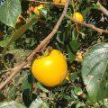 【龍氣農園より】甘柿の食べごろ