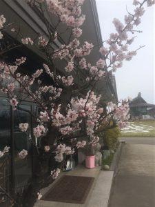 桜も見頃です