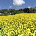 龍氣の菜の花畑が満開!