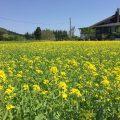 菜の花が咲きました