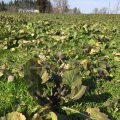 新緑の野沢菜畑
