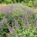 タンジン(丹参)の紫の花