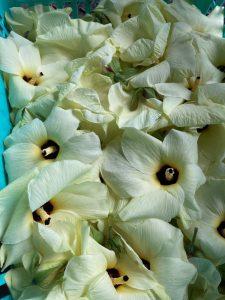 花オクラ収穫!