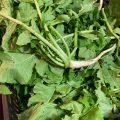 栄養豊富な大根の葉