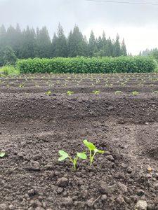 龍氣畑の大根の芽
