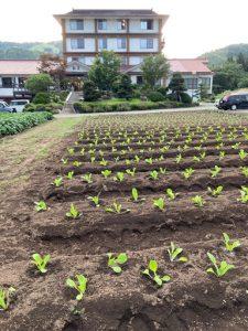 白菜の苗植え